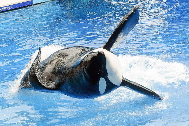 Murió Tilikum, la ballena más polémica de SeaWorld