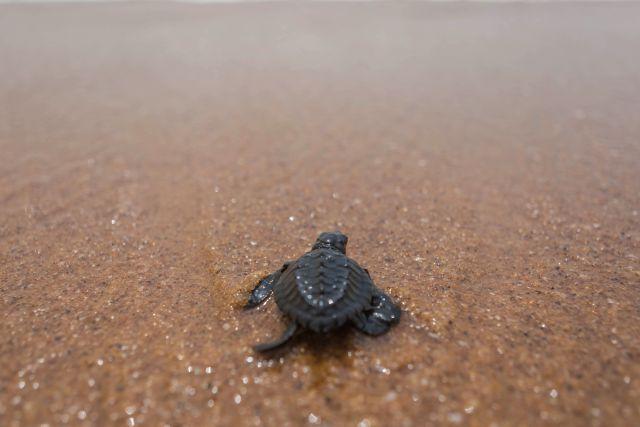¿Te gustaría ser voluntario? Las tortugas marinas te lo agradecerán