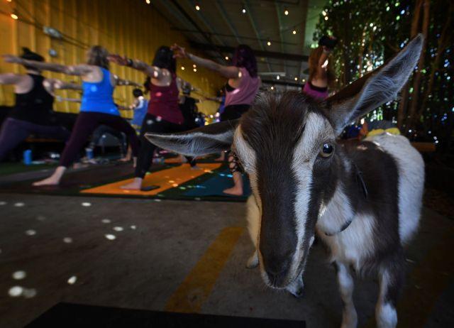 Hacer yoga con cabras es la última moda