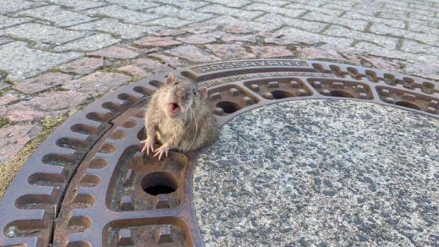 Bomberos rescatan a rata gorda que quedó atascada en una alcantarilla