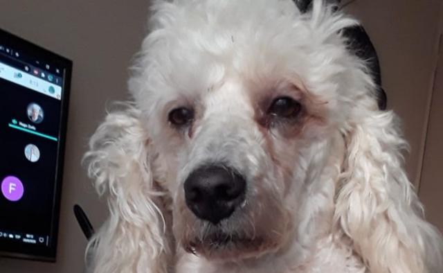 Perrito con cara de desvelado se hace viral; esperaba que dueña acabara la tarea